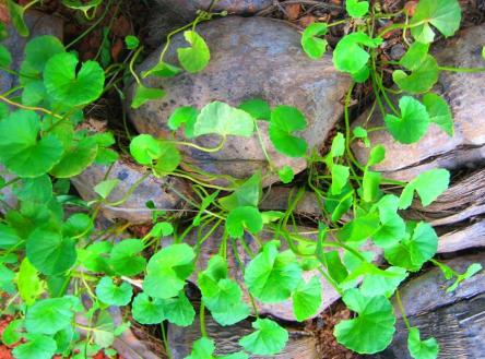 Brahmi is a very popular herb and is mainly known as a brain food. It is known as Centella Asiatica in Latin and in common parlance Indian Pennywort.#Vijayrampatrika.com